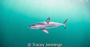 Mako shark by Tracey Jennings