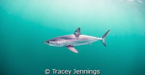 Mako shark by Tracey Jennings