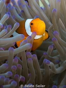 Clownfisch by Beate Seiler
