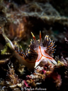 Emergence. Nudibranch - Phidiana militaris. Chaloklum, Th... by Stefan Follows