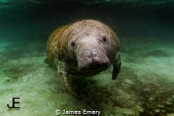 Manatee, Crystal River, FL Canon 7D, Tokina 10-17mm, Nau... by James Emery