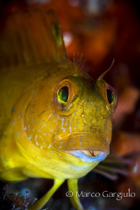 yellow blenny by Marco Gargiulo