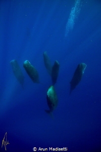 Sleeping giants. Pod of sleeping Sperm whale, taken under... by Arun Madisetti