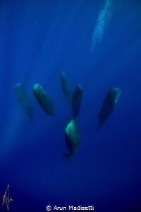 Sleeping giants. Pod of sleeping Sperm whale, taken under... by Arun Madisetti