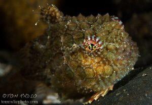 Spiny Pacific Lumpsucker