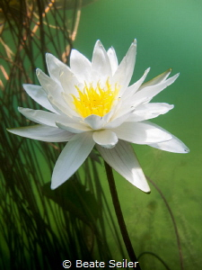 water lily by Beate Seiler