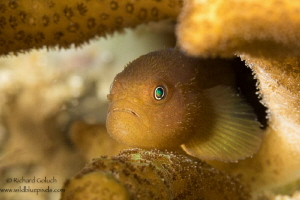 Redhead Coral Goby-Anilao Phillippines by Richard Goluch