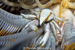 "feather star squat lobster NIKON D7000 in a Seacam ""Prel... by Thomas Bannenberg"