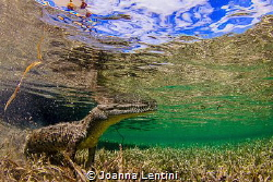 Saltwater Crocodile posing for me in Jardines de la Reina by Joanna Lentini