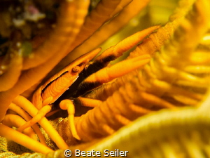 Yellow feather star squat lobster by Beate Seiler