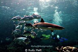 Whitetip shark n jackfish, Canon 350D with patima housin... by Rudy Matt