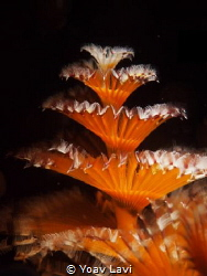 Christmas tree worm by Yoav Lavi