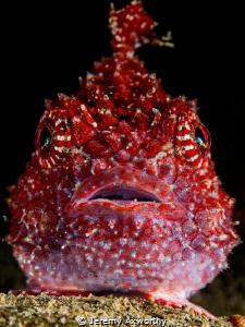 Red Lumpsucker by Jeremy Axworthy