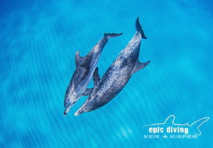 Mother and calf Atlantic Spotted Dolphins play in the ope... by Ken Kiefer