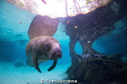 Crystal River Manatee by Ryan Bonnema