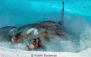 Captured this shot of a Southern Stingray as he was tryin... by Robin Bateman