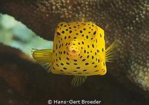 Yellow Boxfish,( Ostracion cubicus ), juvenile Raja Ampat by Hans-Gert Broeder