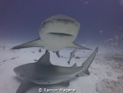 Close encounter, Bull sharks of Playa del Carmen, Mexico by Ramon Magana