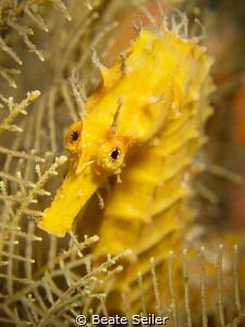 Yellow seahorse by Beate Seiler