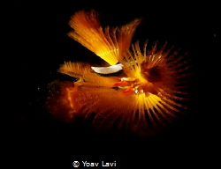 Christmas tree worm  snooted by Yoav Lavi