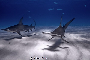 Great Hammerheads while on a dive expedition in Bimini, B... by Alex Suh