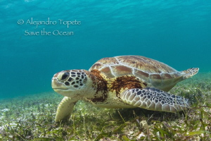 Green Turtle, Akumal Mexico by Alejandro Topete