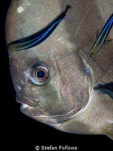 การอยู่ร่วมกันของสิ่งมีชีวืตสองชนิด ! Longfin Batfish - P... by Stefan Follows