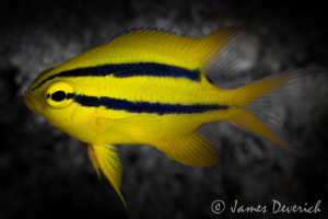 Juvenile gold & black damsel by James Deverich
