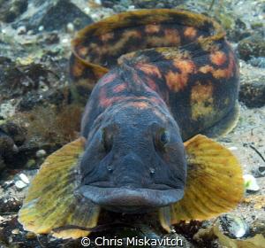 A face only a parent could love!  Ocean Pout off the coas... by Chris Miskavitch