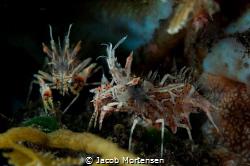 Tiger Shrimps in Tulamben by Jacob Mortensen
