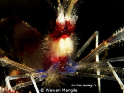 Stenopus hispidus  by Wawan Mangile
