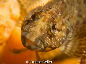 Young hairy blenny by Beate Seiler