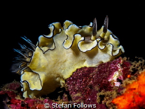 All dressed up and ... ? Nudibranch - Doriprismatica atro... by Stefan Follows