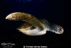 Green turtle in Tenerife by Michael James Sealey