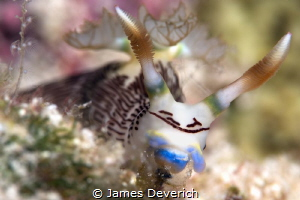 nembrotha lineolata by James Deverich