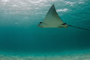 Eagle Ray with surface, Akumal Mexico by Alejandro Topete