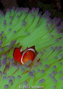 Riding the Green Wave  Clown anemonefish (Amphiprion oc... by Billy Watson