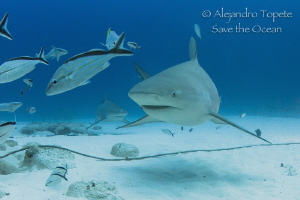 Bull Shark Face, Playa del Carmen Mexico by Alejandro Topete