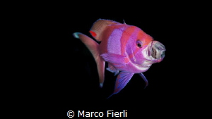 Square Spot Anthias by Marco Fierli