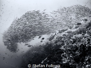 Dreaming is Free. Smoothtailed Trevally - Selaroides lept... by Stefan Follows