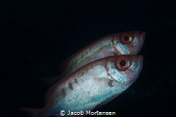 Priacanthus Hamrur -Crescent-tail big eye by Jacob Mortensen