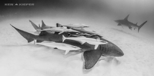 Nurse Shark with a serious load of remora!! by Ken Kiefer