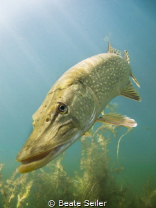 Northern pike in sun light by Beate Seiler