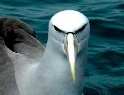 Painted Albatros, Looking every inch the boss... by Jayne Dennis