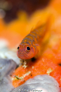 Dwarf goby in Palong, Phi Phi Ley by Tobias Reitmayr