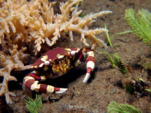 Harlequin crab. by Marylin Batt