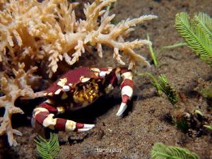 Harlequin crab. by Marylin Batt
