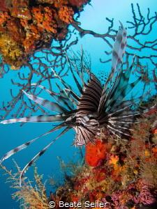 Lionfish at a ship wreck by Beate Seiler
