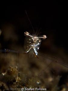 Eye Level. Black and Silver Cuapetes Shrimp - Cuapetes gr... by Stefan Follows