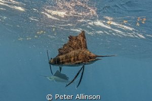 sailfish by Peter Allinson